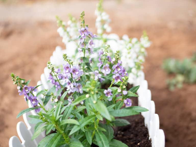 צמח אנג'ולניה סגול שתול בעדנית לבנה