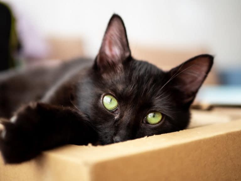 חתולה שחורה שוכבת על קרטון