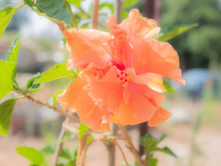 פרח היביסקוס כתום בהיר